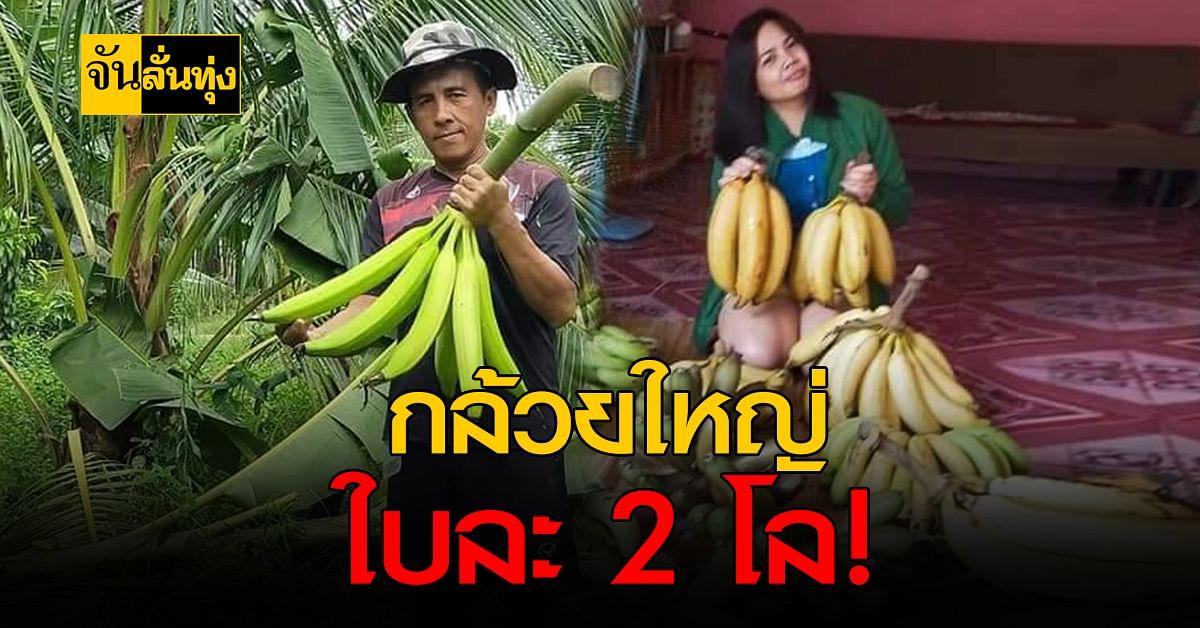 มารู้จัก กล้วยงาช้าง พืชใหม่ปลูกง่ายแค่ปีเดียวก็คืนทุน