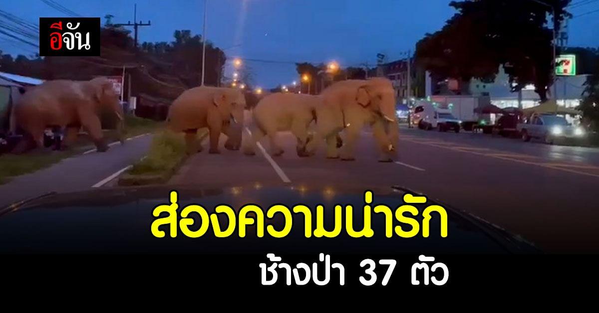 ส่องความน่ารัก ช้างเขาใหญ่ เดินกินลมชมวิวโชว์ตัว ก่อนกลับป่ารวมตัวครอบครัว 37 ตัว