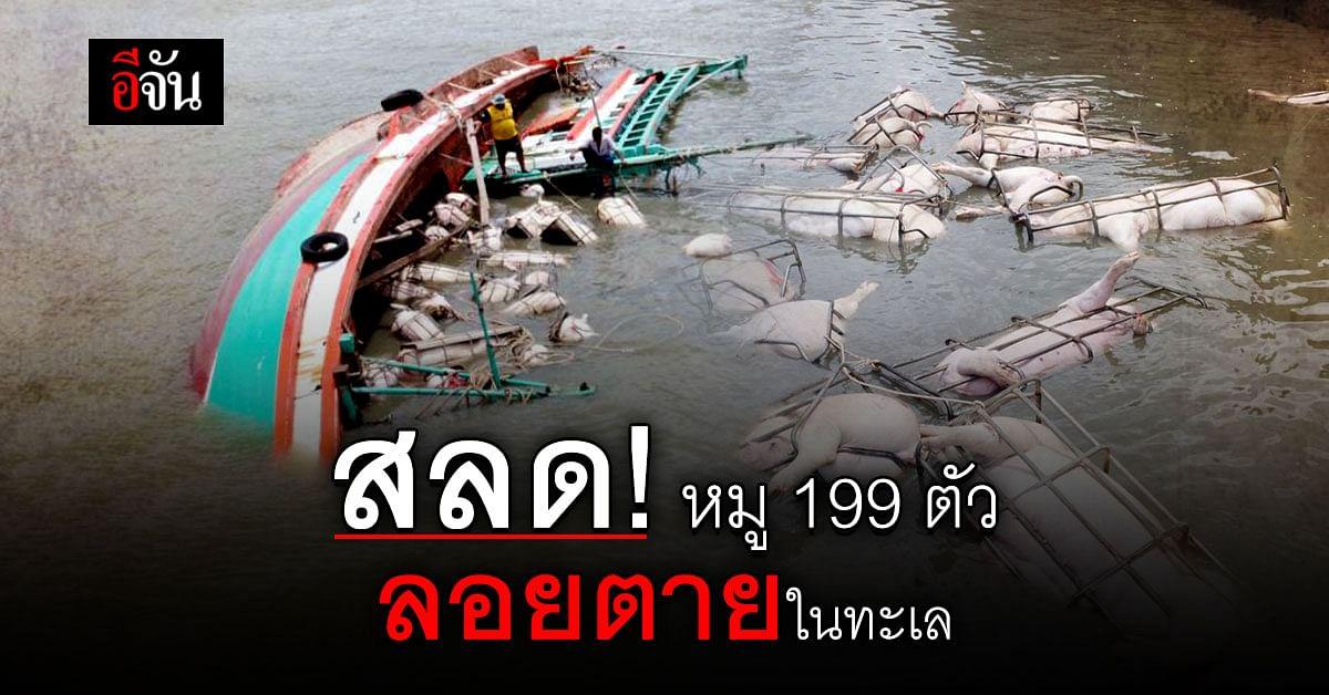 เวทนา ชีวิตหมู 199 ตัว ลอยตายในทะเล เหตุ เรือขนหมูล่ม