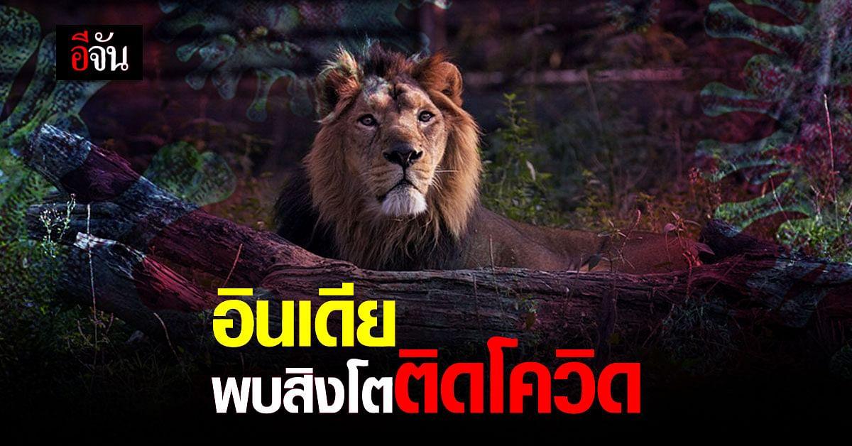 สวนสัตว์อินเดียพบ 'สิงโตเอเชีย' ติดโควิด-19
