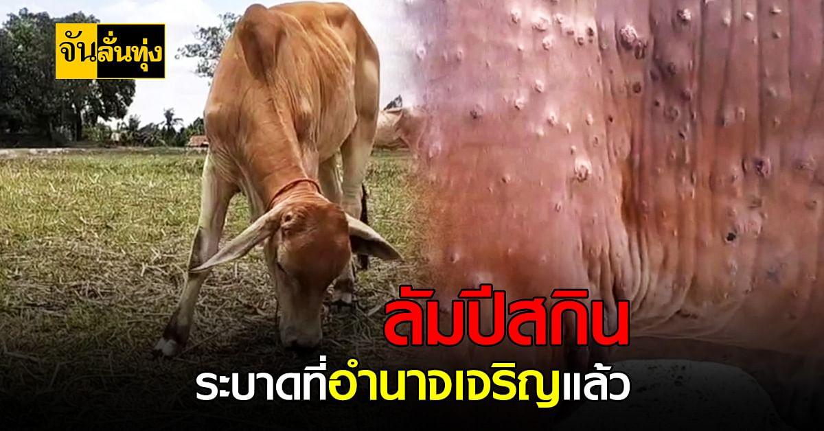 เกษตรกรอำนาจเจริญเครียด ลัมปีสกิน ระบาดในเมือง ติดเชื้อแล้วกว่า 50 ตัว