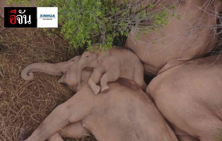 เจ้าหน้าที่จะควบคุมการอพยพของโขลงช้างโดยใช้อาหารเป็นตัวล่อและปิดกั้นถนน