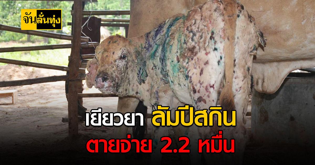 เปิดเกณฑ์เยียวยาวัวควายติด ลัมปีสกิน ตายจ่ายตามสูงสุด 22,000 บาท
