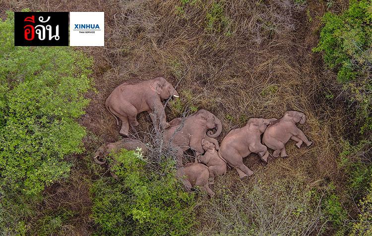 โขลงช้างป่าเอเชียพักผ่อน
