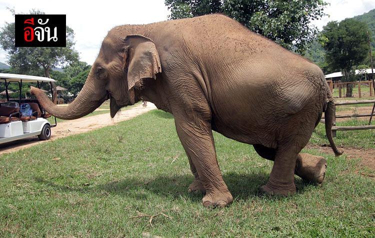 ช้างจะอยู่อย่างอิสระแบบธรรมชาติ ได้วิ่งเล่น อาบโคลน