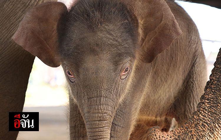 พังนพเก้า ช้างตัวที่ 99