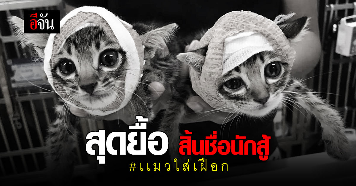 สุดยื้อ แมวใส่เฝือก 1 ใน สองพี่น้อง จากัวร์ เสียชีวิตเเล้ว