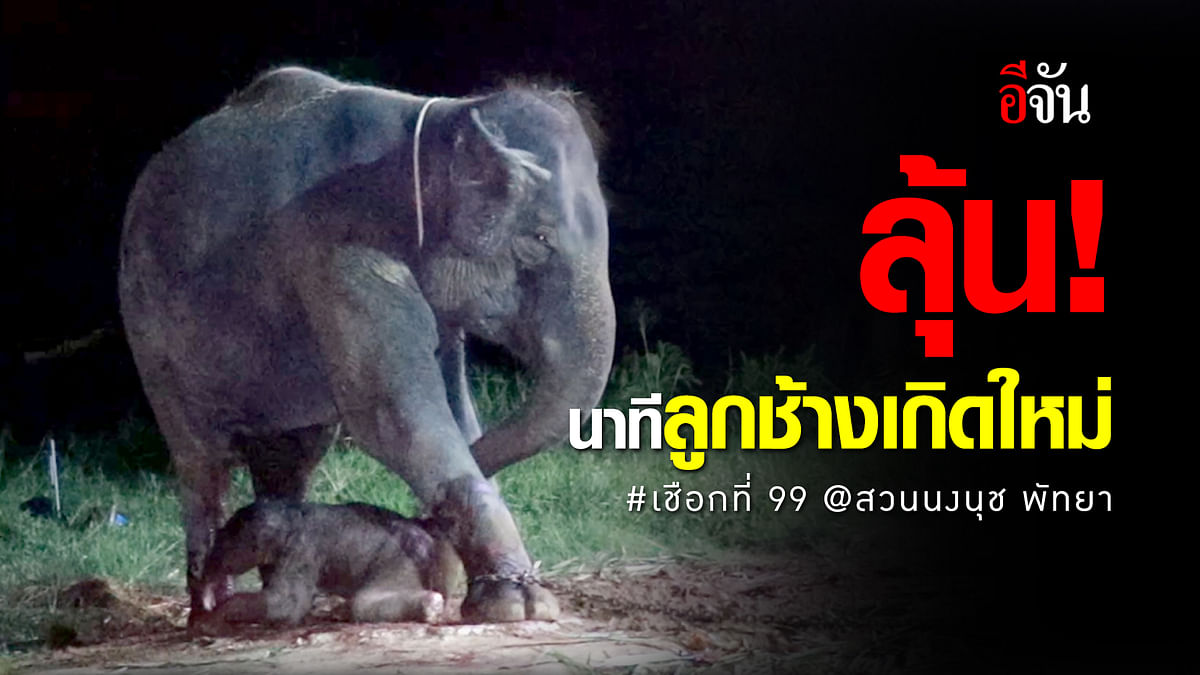 (Video) นาทีลูกช้างเกิดใหม่ #เชือกที่99 @สวนนงนุชพัทยา