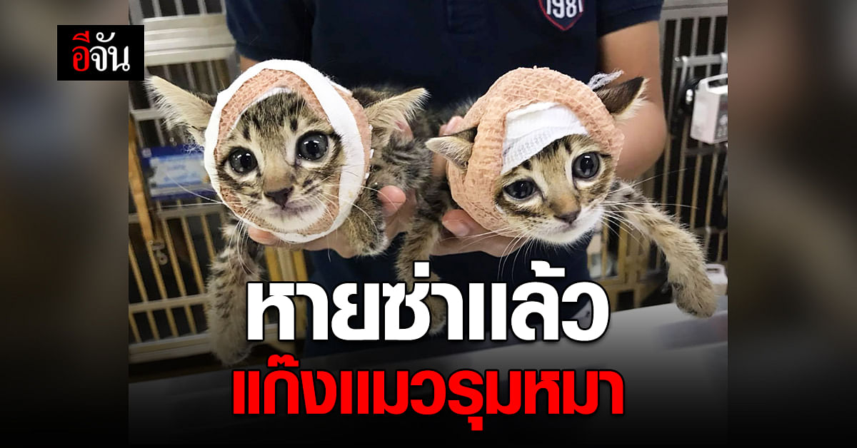 แมวจรนักสู้ ไทเกอร์ จากัวร์ ใส่เฝือกทั้งคู่ หลัง ยกพวก รุมหมา