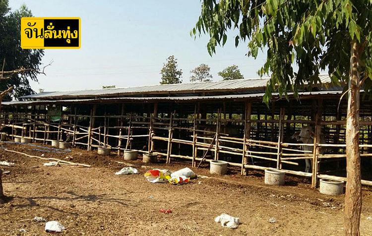 ฟาร์มเลี้ยงวัวเนื้อพรีเมี่ยม ที่จังหวัดสุรินทร์