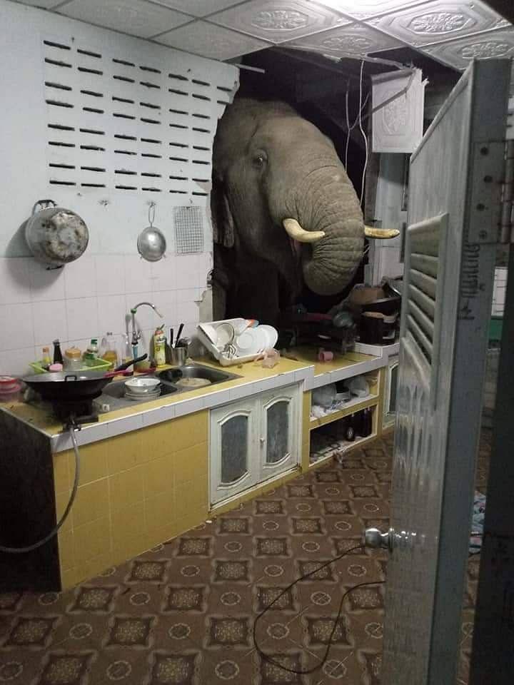 ช้างป่า โผล่ทะลุกำแพงห้องครัว