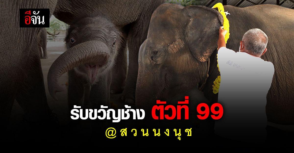 วันดี ปางช้างสวนนงนุชพัทยา ทำพิธีรับขวัญ พังนพเก้า ลูกช้าง ตัวที่ 99