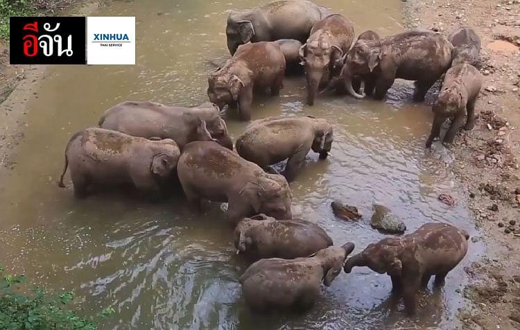 โขลงช้างเอเชียป่า ในยูนนาน ประเทศจีน