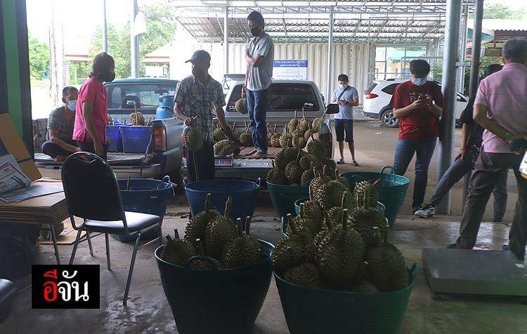 ชาวสวนขนทุเรียนป่าละอู กำลังคัดทุเรียน