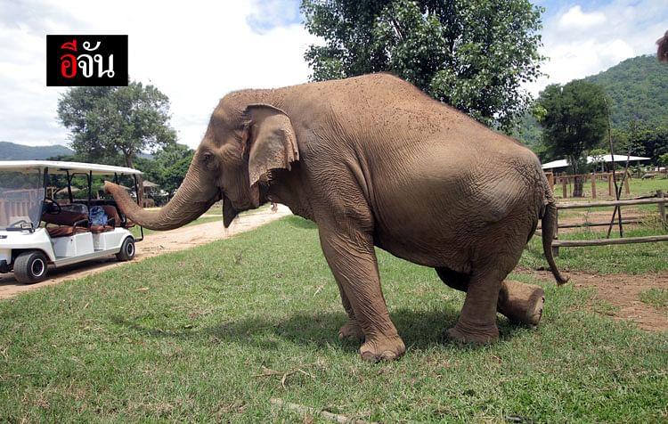 ช้างหลังหัก เพราะถูกบังคับผสมพันธุ์
