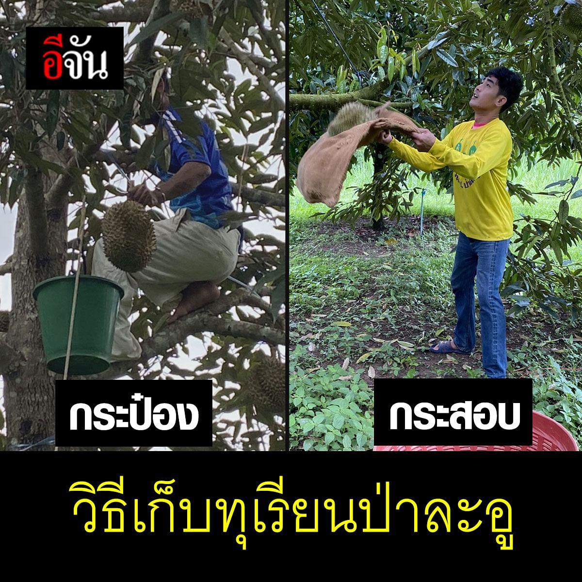 วิธีการเก็บทุเรียนที่ป่าละอูด้วยกระป๋อง และกระสอบ