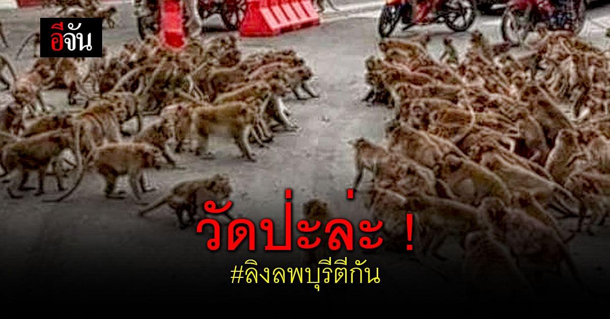 ศึกชี้ชะตา ลิงลพบุรี ล้างแค้นศัตรู ยกพวกตะลุมบอน กลางเมือง !