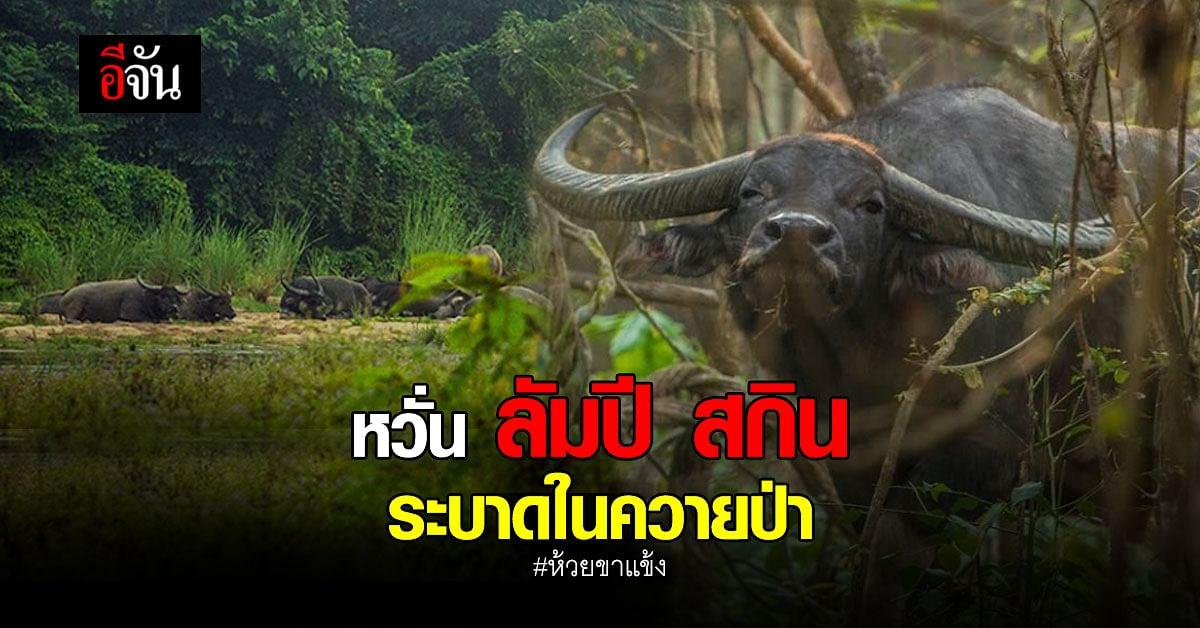 ระวังเข้ม! หวั่น ลัมปี สกิน ระบาดใน ควายป่า ฝูงสุดท้ายที่ ห้วยขาแข้ง