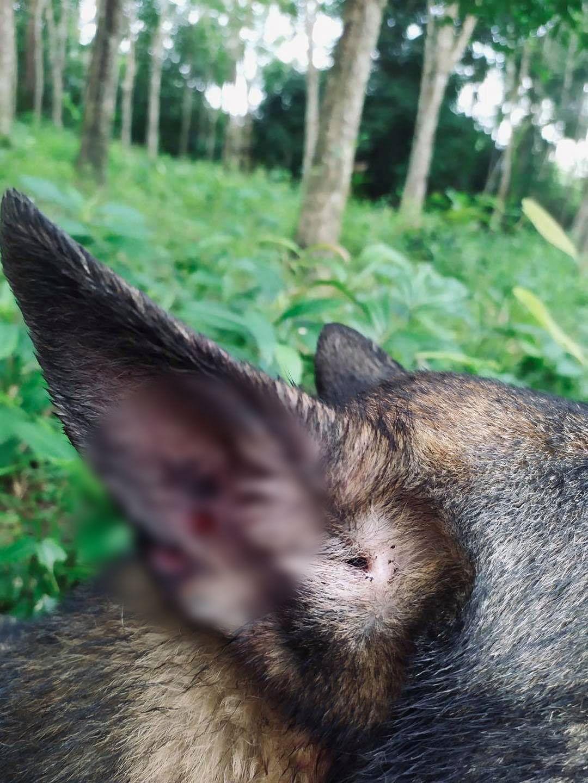 สุนัขทหาร ถูกยิงทะลุหู ช่วยชีวิตเจ้าหน้าที่ ปะทะเดือด อ.สายบุรี