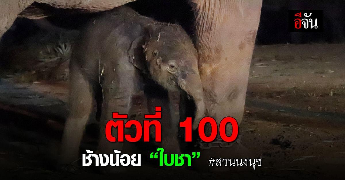 """ตัวที่ 100 ช้างน้อยตัวใหม่ """"เด็กชายใบชา"""" แห่งสวนนงนุช"""