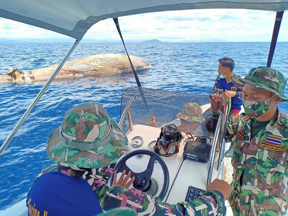 เจ้าหน้าที่ ไปตรวจสอบซาก วาฬบรูด้าตายกลางทะเล