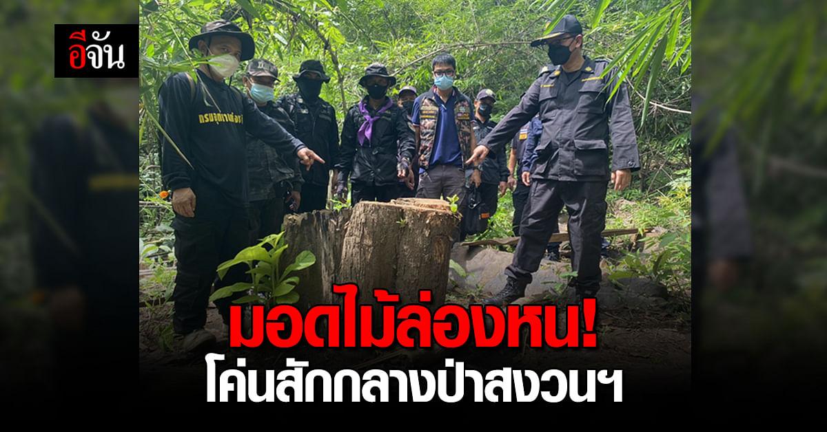 มอดไม้! ลอบตัดต้นสักกลางป่าสงวนแห่งชาติ ยึดไม้สักแปรรูป 25 แผ่น