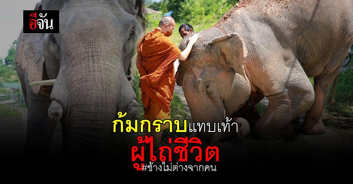 ช้างแสนรู้ ก้มกราบพระครู ผู้ให้ชีวิตใหม่