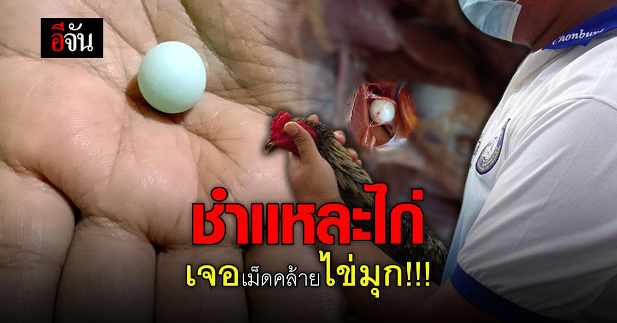 หนุ่มใหญ่มีหวัง ชำเเหละไก่เตรียมขาย เจอเม็ดมรกต คล้ายไข่มุก