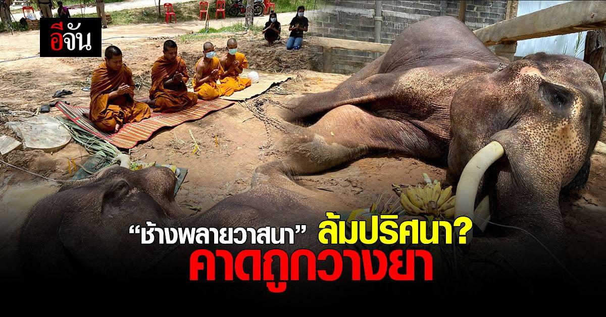 สลด! ช้างพลายวาสนา ล้มคาศูนย์อนุรักษ์ช้าง ช้างทองคำ มหาสารคาม