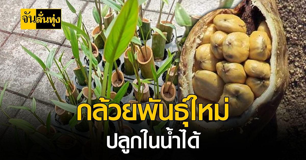 พืชแนวใหม่? กล้วยปลูกในน้ำ ชอบดินเหนียว และต้องใช้น้ำหล่อเลี้ยง