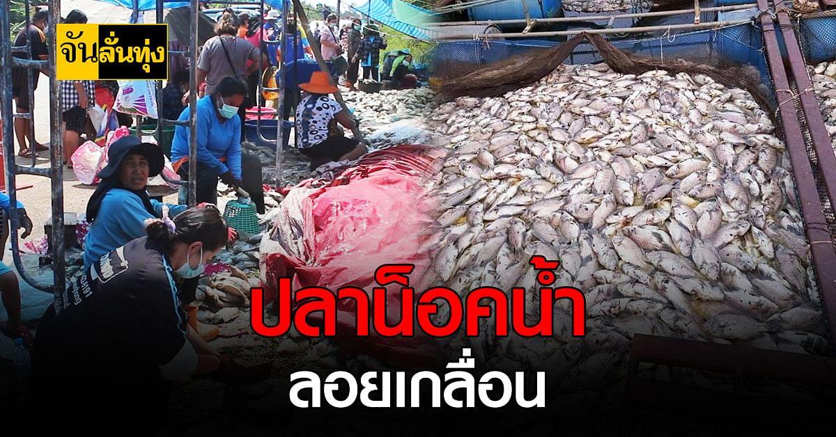 มหาสารคามปลาตายยกกระชัง ชาวบ้านทำใจ ขายถูกเพียงกิโลละ 10 บาท