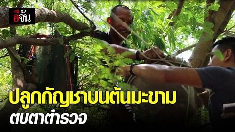 ไม่รอดสายตาตร. จับหนุ่มลักลอบปลูกกัญชาบนต้นมะขาม