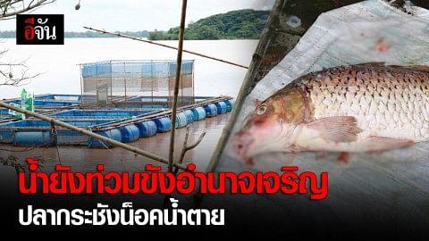 น้ำโขงลด แต่ยังท่วมขังพื้นที่การเกษตรอำนาจเจริญเสียหายยับ ปลากระชังน็อคน้ำตาย