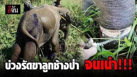 ลูกช้างป่า เขาอ่างฤาไน โดนบ่วงรัดขา จนเน่า!!!