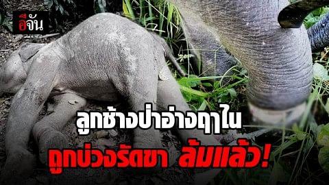 ลูกช้างป่าเขาอ่างฤาไนถูกบ่วงรัดขาล้มแล้ว คาดถูกทารุณจนตาย
