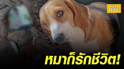 จิตใจทำด้วยอะไร! หมาบีเกิล ถูกฆ่าถลกหนังอย่างโหดเหี้ยม