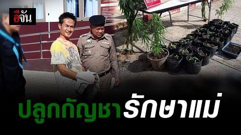 จับผู้ช่วยผู้ใหญ่บ้าน อ.นาแห้ว ปลูกกัญชา 50 ต้น อ้างรักษาแม่ที่ป่วย