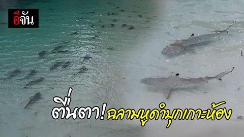 ฉลามหูดำนับร้อย ว่ายออกหาอาหารบนหมู่เกาะห้อง อุทยานแห่งชาติธารโบกขรณี จ.กระบี่ บ่งชี้ถึงความสมบูรณ์ใต้ทะเล