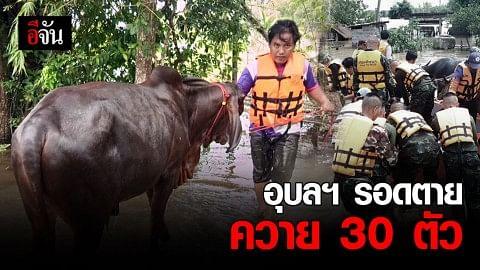 อุบลฯ เร่งขนย้ายวัวควาย 30 ตัว