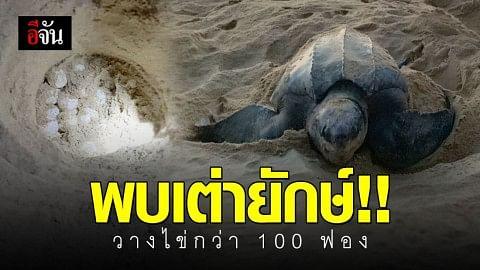 พบเต่ามะเฟืองยักษ์ ขึ้นวางไข่ที่หาดท้ายเมือง กว่า 100 ฟอง