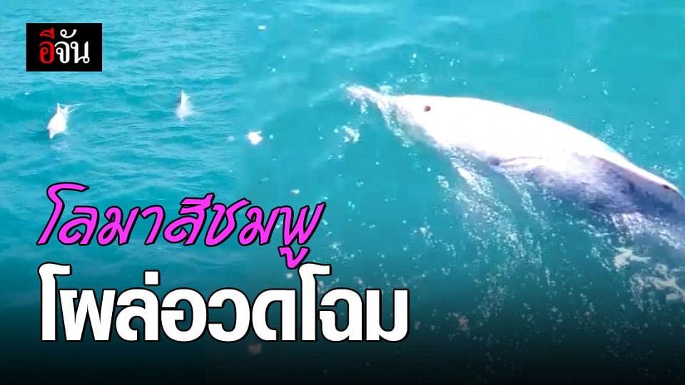 ฝูงโลมา โผล่อวดโฉม กลางทะเลอ่าวไทย