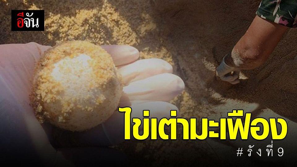 แม่เต่ามะเฟืองวางไข่หาดภูเก็ต รังที่ 9