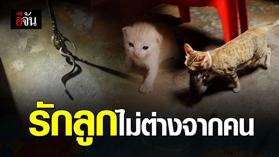 แม่แมวคาบลูกแมวหนีงูทีละตัว ไปซ่อนในที่ปลอดภัย