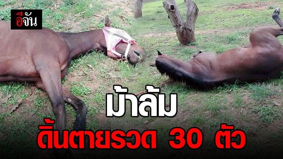 ที่ปากช่อง ม้าล้มดิ้นตายรวด 30 ตัว
