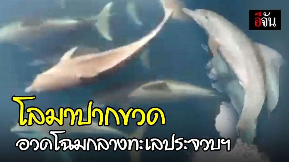 ความสมบูรณ์ของท้องทะเล ประจวบคีรีขันธ์ ฝูงโลมาปากขวดกว่า 30 ตัว แหวกว่ายโชว์แข่งเคียงข้างเรือ
