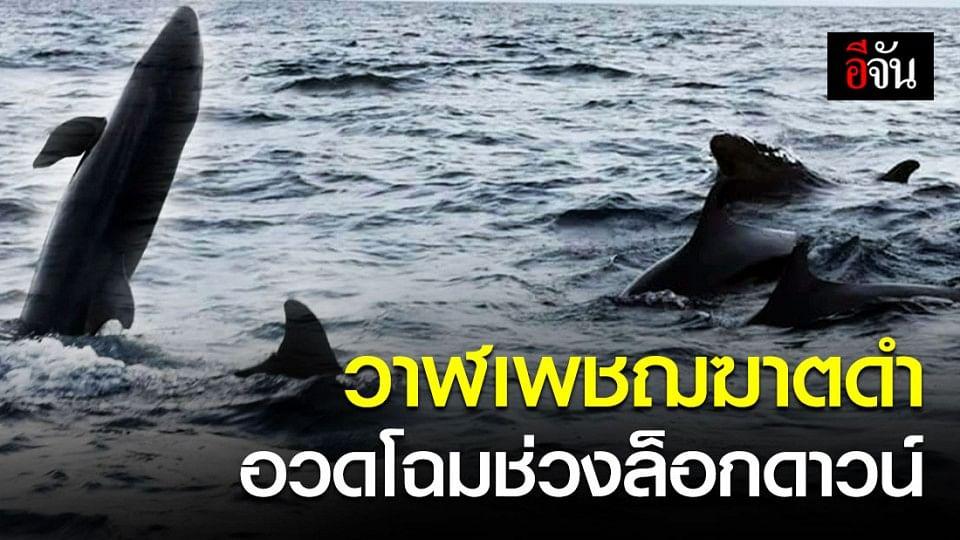 ฝูงวาฬเพชฌฆาตดำแหวกว่ายอวดโฉมในอ่าวหินงาม อช.หมู่เกาะลันตา