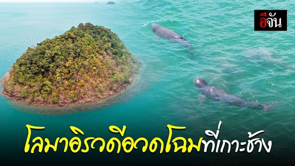 โลมาอิรวดี โผล่อวดโฉมในเขต อช.หมู่เกาะช้าง บ่งบอกความสมบูรณ์ท้องทะเล