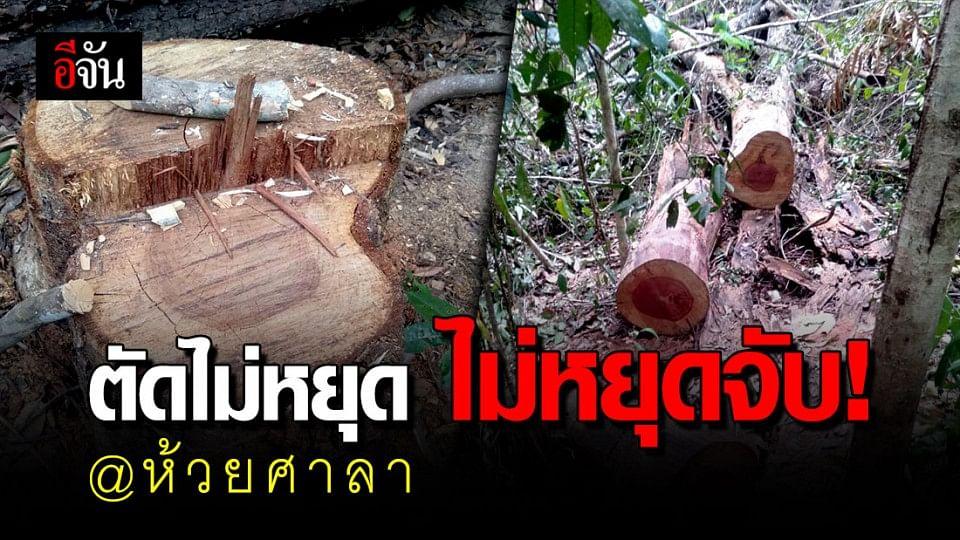 มีให้จับไม่หยุด!!! ชาวกัมพูชา ลอบตัดไม้ชิงชัน ในเขตรักษาพันธุ์สัตว์ป่าห้วยศาลา