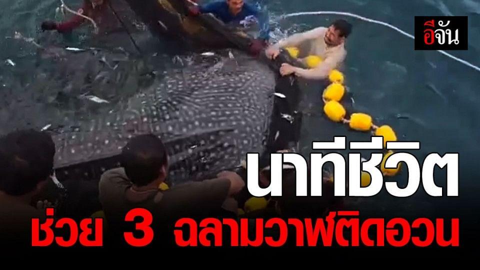 สุดยอด!!! ไต๋เรือ-ชาวประมง จ.กระบี่ ช่วยชีวิต 3 ฉลามวาฬ หลงติดอวนข้างเรือ