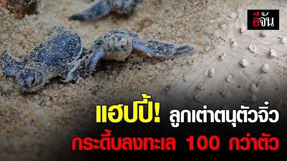 คนรักเต่าแฮปปี้ ลูกเต่าตนุฟักบนเกาะสมุย 132 ตัว รอดเกือบ 100 %